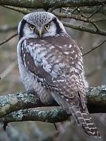 northern-hawk-owl 200