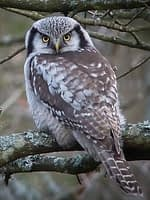 northern-hawk-owl 200